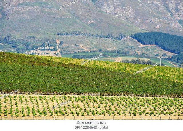 Rows of vines in a vineyard; Stellenbosch, Gautang, South Africa