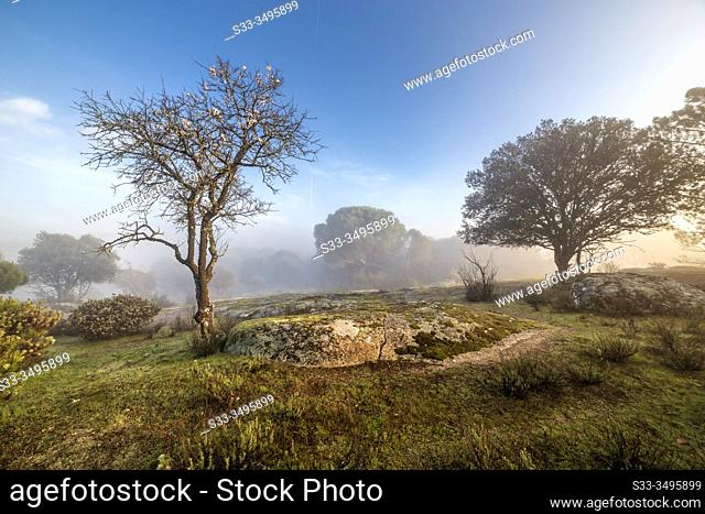 Almond tree, pine, grass and fog early in the morning. Madrid. Spain. Europe
