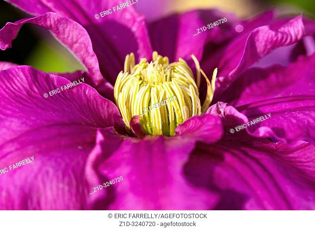 Clematis plants for sale in Garden Centre Scotland UK
