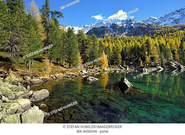 Lärchenwald, Larch Forest on Lake Lago di Saoseo, with Mount Scima da Rügiul, Val di Campo, Canton of Grisons, Switzerland