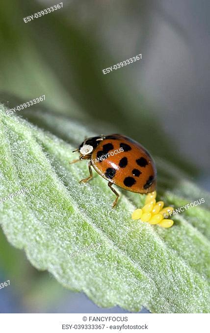 Asian lady beetle during oviposition (Harmonia axyridis)