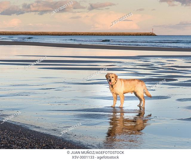 Golden Retriever with mirror reflection on the beach, Ayamonte, Huelva, Spain