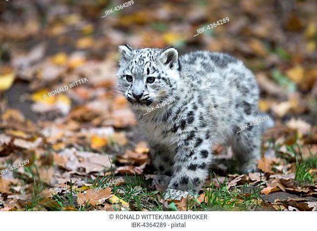 Snow leopard (Uncia uncia) cub, captive