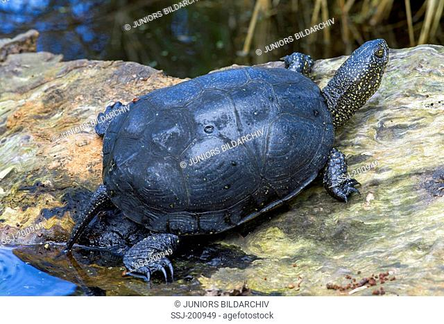 European Pond Turtle (Emys orbicularis) resting on a rock. Germany