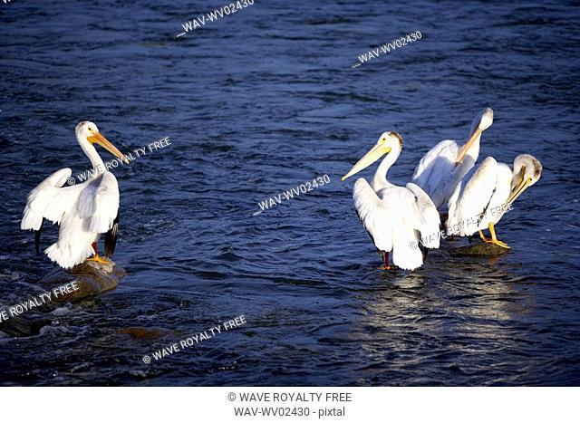 Four pelicans standing on rocks in water, Canada, Alberta
