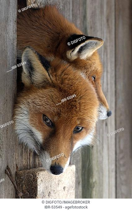 Red foxes (vulpes vulpes), portrait