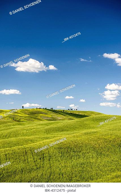 Cornfields in spring, at San Quirico d'Orcia, Val d'Orcia, Tuscany, Italy
