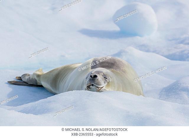 Adult crabeater seal, Lobodon carcinophaga, hauled out on ice floe, Neko Harbor, Andvord Bay, Antarctica, Southern Ocean