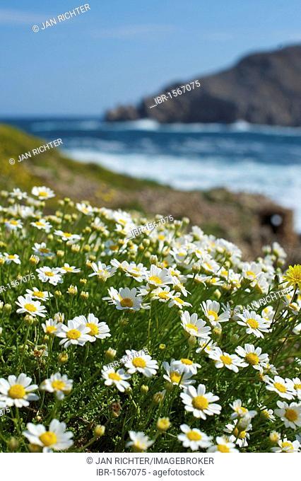 Flowers by the sea, Cap de Fornells, Menorca, Balearic Islands, Spain, Europe