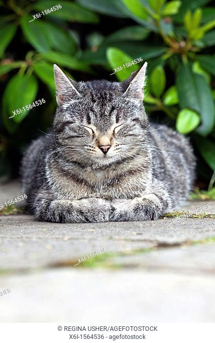 Cat, taking a nap in garden, Lower Saxony, Germany