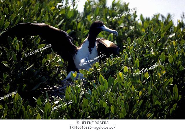 Codrington Lagoon Barbuda Frigate Birds Nesting in Mangroves