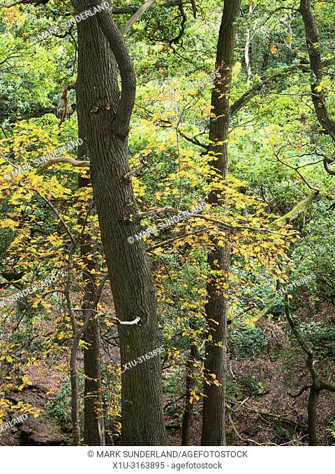 Ash tree in autumn at Shipley Glen near Baildon West Yorkshire England