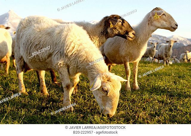 Sheep, Sierra de Aralar, Zaldibia, Guipúzcoa, Spain