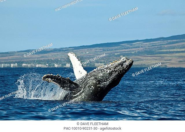 Hawaii, Maui, Humpback Whale Megaptera novaeangliae breaching off shore
