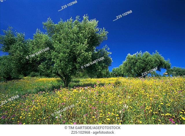 Olive trees. Malaga province. Spain
