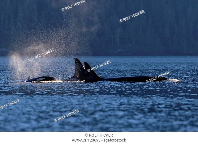 Northern resident orca pod (killer whale, Orcinus orca) traveling through Johnstone Strait off northern Vancouver Island in late afternoon, British Columbia