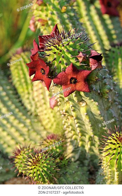 Hoodia pilifera, Namaqualand, Südafrika / Hoodia pilifera, Namaqualand, South Africa