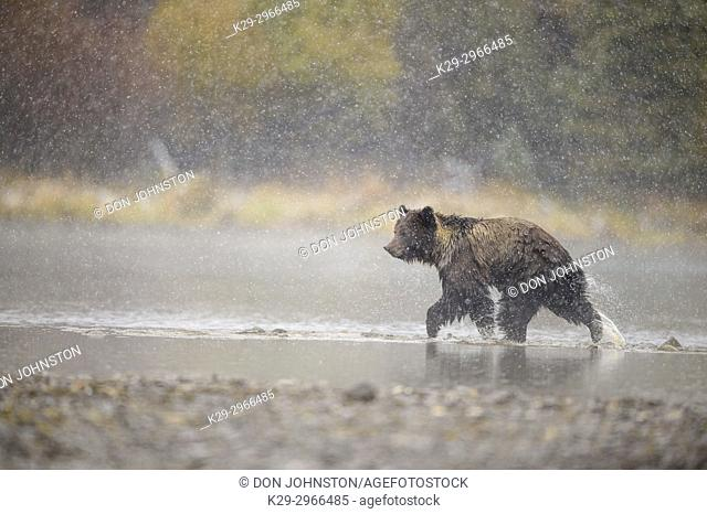 Grizzly bear (Ursus arctos)- Adult hunting sockeye salmon along shore of the Chilko River. Chilcotin Wilderness, British Columbia BC