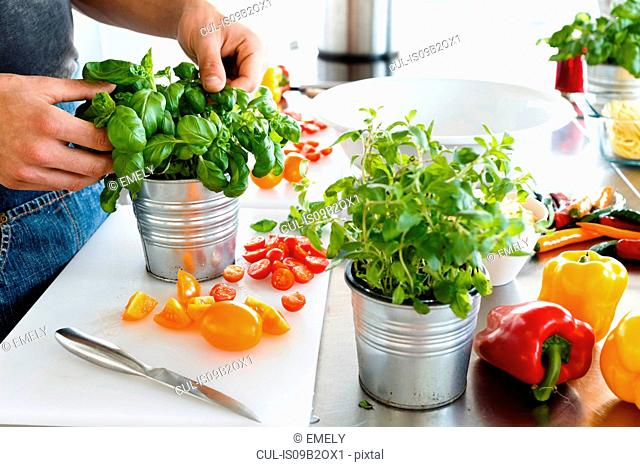 Cropped view of man picking leaves from potted basil plant
