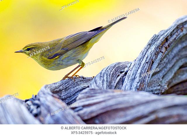 Willow Warbler, Phylloscopus trochilus, Mosquitero Musical, Castilla y León, Spain, Europe