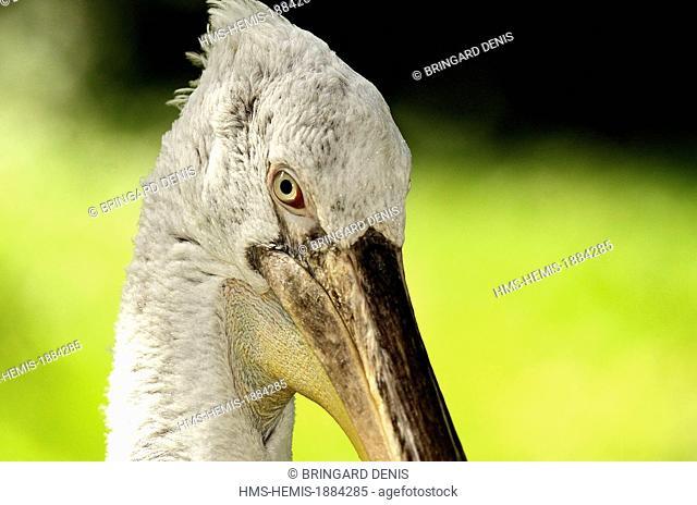 France, Haut Rhin, Mulhouse, Zoological and Botanical Garden, Pelican (Pelacanus crispus)
