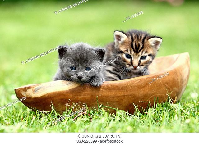European Shorthair. Two kittens (3 weeks old) in a wooden bowl on a lawn. Germany