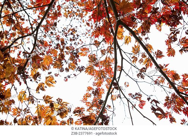Japanese Maple tree, Acer japonicum, with red, orange and yellow leaves, Frelinghuysen Arboretum, Morristown, New Jersey, NJ, USA