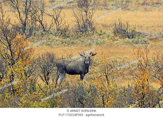 Moose (Alces alces) young bull with small antlers foraging in moorland in autumn, Scandinavia