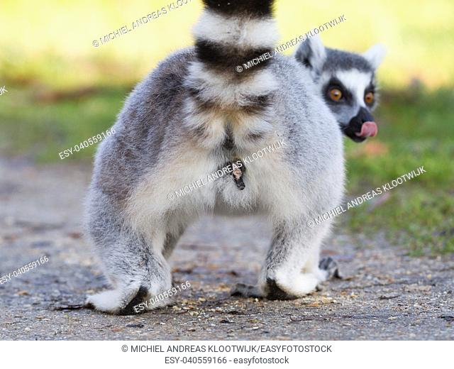 Ring-tailed lemur (Lemur catta), selective focus on it's behind