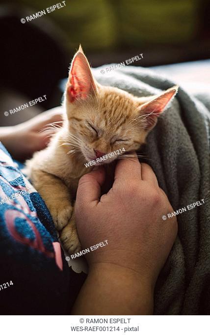 Woman's hand stroking tabby kitten