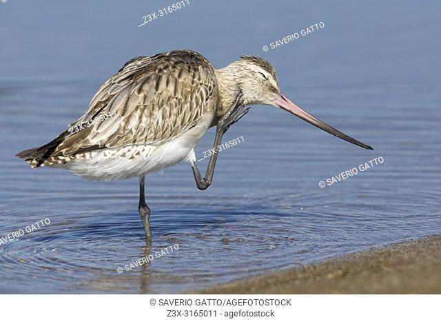 Bar-tailed Godwit (Limosa lapponica), scratching in the water, Liwa, Al Batinah, Oman