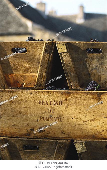 Pinot noir grapes in crates, Chateau de Pommard, Burgundy