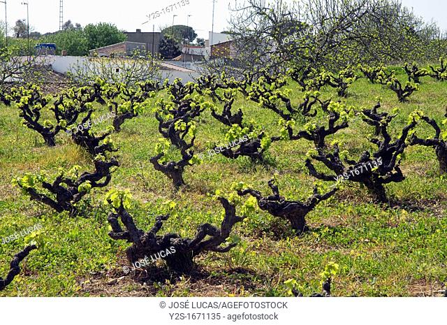 Vineyard, Bonares, Huelva-province, Spain