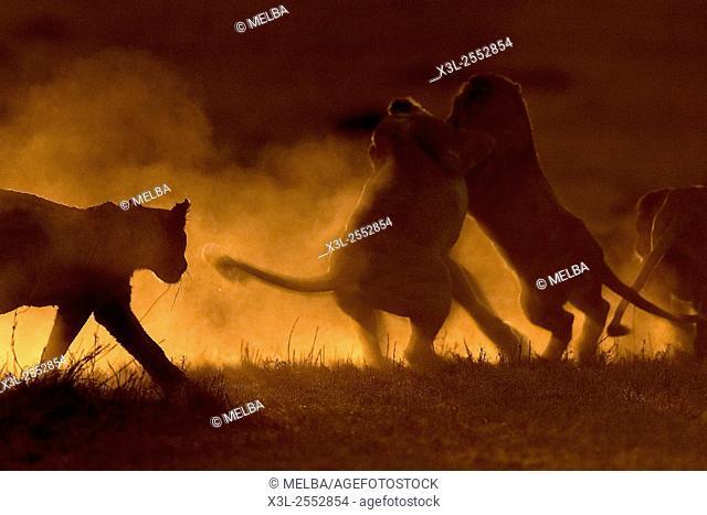 Panthera leo. African lion. Serengeti National Park. Tanzania. Africa