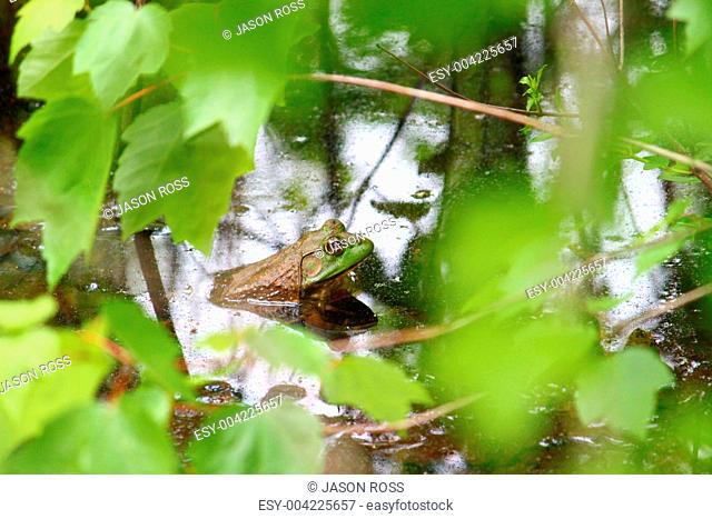 Bullfrog Rana catesbeiana