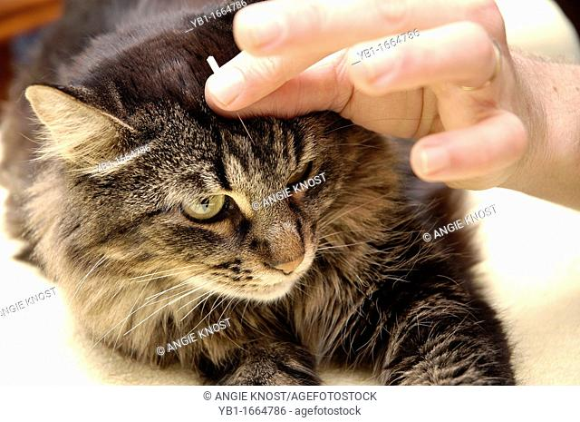 Cat is receiving acupuncture treatment