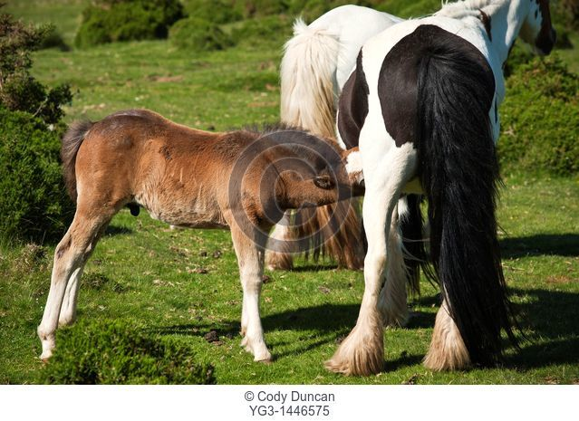 Welsh mountain pony foal feeds from mother, Hay Bluff, Wales