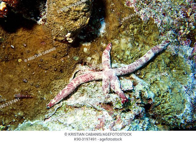 Multi Pore Sea Star, Linckia multifora, Starfish, Coral Reef, Indian Ocean, Maldives, South Asia
