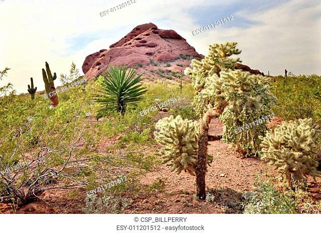 Joshua Trees Yucca Brevifolia Saguaro Cactus Carnegiea Gigantea, Desert Botanical Garden Papago Park Sanoran Desert Phoenix Arizona