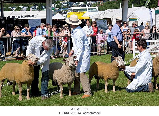 England, North Yorkshire, Harrogate. Charollais sheep being judged at the Great Yorkshire Show