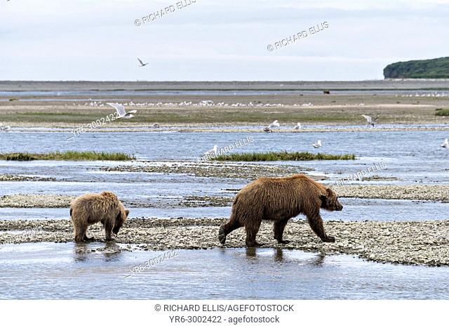 A Brown bear mother with her yearling cub along the lower lagoon at the McNeil River State Game Sanctuary on the Kenai Peninsula, Alaska