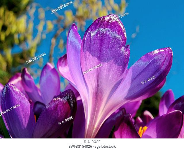 Dutch crocus, spring crocus (Crocus vernus, Crocus neapolitanus), blossom