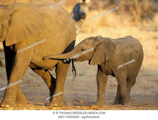 African Elephant (Loxodonta africana). two different aged calves - Kruger National Park, South Africa