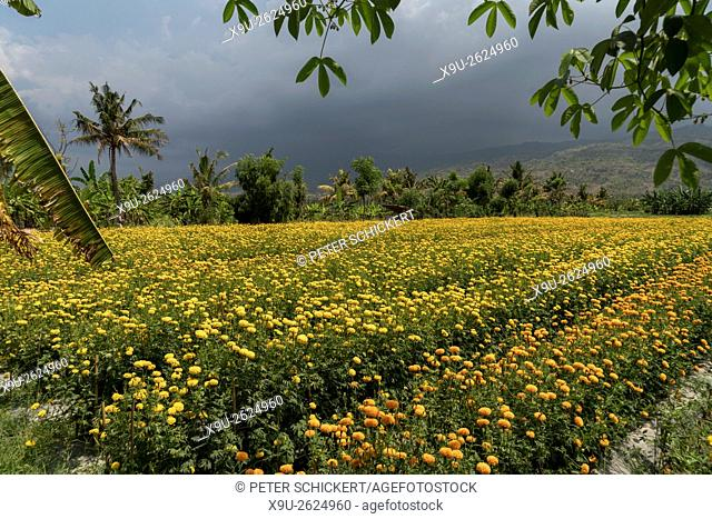 field with tagetes flowers used for offerings, Lovina, Bali, Indonesia