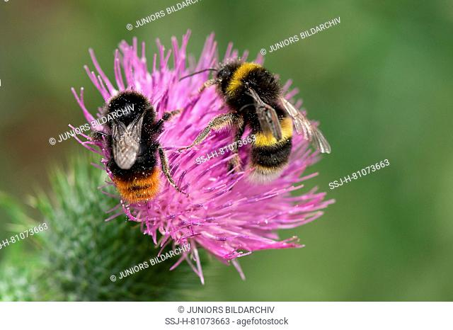 Buff-tailed Bumble Bee (Bombus terrestris) and Red-tailed Bumblebee (Bombus lapidarius) drinking nectar from a flower of a Bull Thistle (Cirsium vulgare)