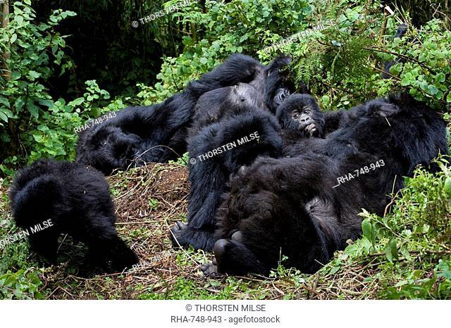 Mountain gorilla group Gorilla gorilla beringei, Rwanda Congo border, Africa