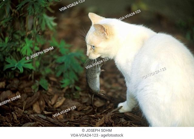 White cat with mouse in mouth