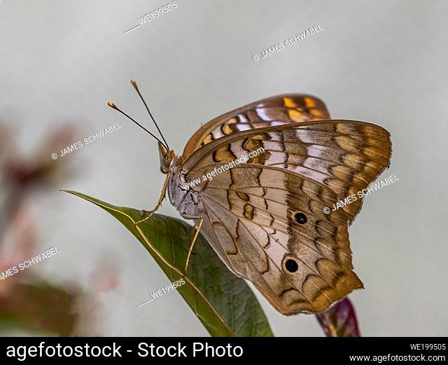 Close-up of a White Peacock (Anartia jatrophae) butterfly