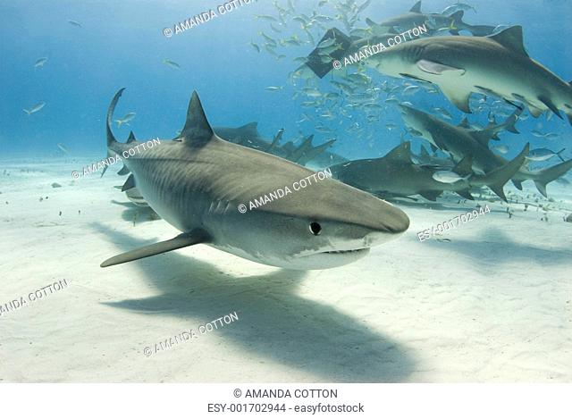 Tiger Shark with Frenzy