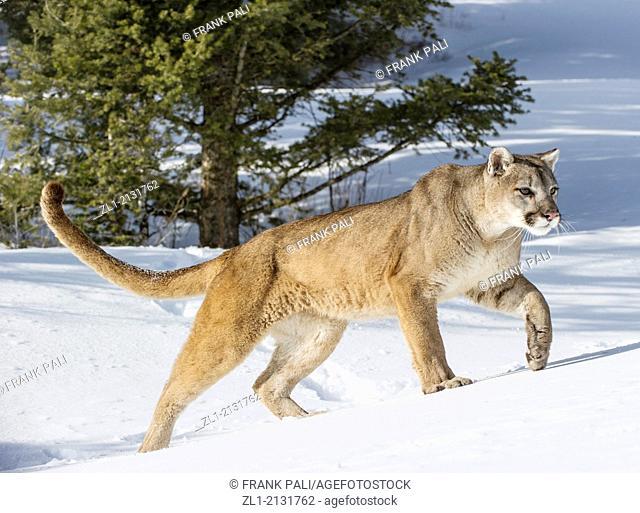 Mountain Lion (Puma concolor couguar) in snow, winter, captive.Bozeman,Montana